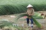 Nông dân Trà Vinh được mùa lác