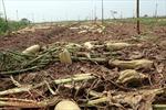 Hà Nội vạch giải pháp sau vụ việc 'giải cứu củ cải' ở Mê Linh