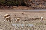 Ninh Thuận chủ động cứu gia súc trong mùa hạn