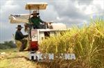 Hiệu quả từ sản xuất lúa gạo hữu cơ chất lượng cao