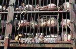 Đắk Lắk lập đội phản ứng nhanh ngăn chặn dịch tả lợn châu Phi