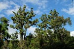 Miền Bắc Việt Nam, một trong những nơi trú ẩn của loài thực vật cổ