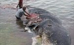 Indonesia phát hiện xác cá voi chứa 6 kg nhựa trong dạ dày