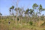 Cân nhắc khi chuyển đổi diện tích cao su kém hiệu quả sang trồng loại cây khác