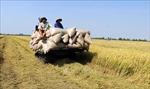 Thị trường nông sản tuần qua: Giá lúa, tiêu đều tăng