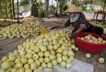 Nông dân Kiên Giang lãi cao nhờ dưa lê được giá