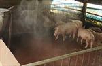 Sóc Trăng xuất hiện ổ dịch tả lợn châu Phi
