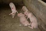 Đồng Tháp phát hiện thêm ổ dịch tả lợn châu Phi