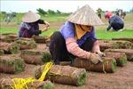 Trồng cỏ Nhật ở bãi bồi ven sông Hồng thu hàng trăm triệu đồng mỗi năm
