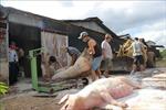 Hai tỉnh mới phát hiện dịch tả lợn châu Phi khẩn trương dập dịch