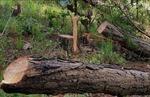 Nhận 6 triệu đồng để cưa hạ rừng thông trái phép