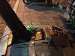Buộc phải chặt hạ cây sưa trên phố Thuốc Bắc do tình huống khẩn cấp