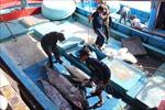 Sản lượng khai thác cá ngừ đại dương Bình Định sụt giảm gần 10%