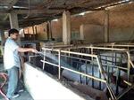 Giá lợn tăng cao, người nuôi vẫn ngại tái đàn vì sợ dịch bệnh