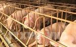 Cần tiếp tục tái đàn lợn theo phương pháp an toàn sinh học