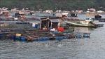 Cá nuôi lồng bè chết hàng loạt tại huyện đảo Kiên Hải