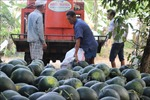 Nông dân Cà Mau trúng mùa, được giá vụ dưa hấu Tết