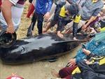 Quảng Ngãi: Nỗ lực cứu cá voi khoảng 700 kg dạt vào bờ biển