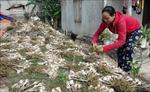 Hiệu quả từ mô hình trồng tỏi trên vùng cồn bãi