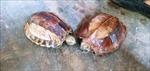 Người dân tự bỏ tiền mua lại rùa quý hiếm để thả về rừng tự nhiên