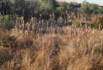 Nhà khoa học Việt Nam tại Nhật Bản phát hiện tiềm năng của cỏ lau xâm lấn