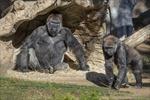 Mỹ phát hiện ít nhất hai con khỉ đột mắc COVID-19