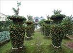 Độc đáo vườn quýt 'lục bình', bưởi 'Thỏi vàng Tài – Lộc'