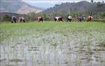 Trên 54% diện tích đã có nước gieo cấy vụ Đông Xuân