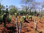 Liên tiếp phát hiện các vụ trồng cần sa trái phép ở Đắk Lắk