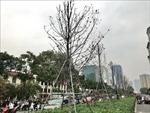 Đêm 20/6, Hà Nội dự kiến hoàn thành đánh chuyển hàng trăm cây phong lá đỏ
