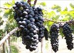 Ninh Thuận phát triển nhiều giống nho rượu chất lượng cao