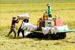 Thị trường nông sản tuần qua: Giá lúa giảm mạnh