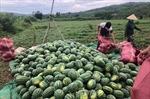 Dịch COVID-19: Kết nối, hỗ trợ nông dân tiêu thụ nông sản vào vụ