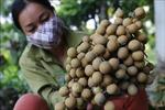 Cây nhãn giúp xã Thái Bình đi đầu trong xây dựng nông thôn mới