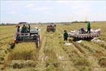 Tháo gỡ khó khăn trong thu hoạch, vận chuyển lúa