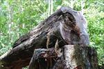 Vụ phá rừng phòng hộ ở Quảng Ngãi: Kiểm tra thực tế sau chỉ đạo 'nóng' của Chủ tịch UBND tỉnh