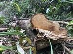 Rừng phòng hộ đầu nguồn ở Quảng Ngãi tiếp tục bị chặt phá trái phép