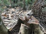 Phản hồi thông tin của TTXVN: Quảng Ngãi chỉ đạo kiểm tra, xử lý vụ phá rừng phòng hộ đầu nguồn