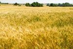 Đằng sau hiện tượng giá lúa trên thị trường thế giới tăng cao nhất trong 6 năm