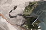 Hết hồn vì mua túi rau diếp tại siêu thị được 'khuyến mại' kèm rắn độc