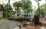 Việc chặt cây phượng tại một số trường ở Hà Nội đang diễn ra thái quá