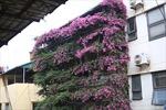 Ngôi nhà 5 tầng mát rượi giữa mùa hè bởi phủ kín hoa giấy