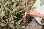Cánh đồng rau sạch tại xã Mê Linh bạc trắng do sâu tơ phá hoại
