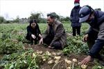 Nông dân Nam Định thu nhập hàng trăm triệu nhờ giống khoai tây mới
