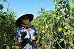 Phát triển nông nghiệp sạch ven đô