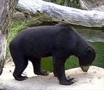 Tiếp nhận con gấu chó 16 năm tuổi, nặng 83kg