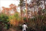 Vụ 3.500 cây thông bị hạ độc: Khuất tất trong quản lý rừng ở Lâm Hà, Lâm Đồng