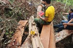 Làm rõ trách nhiệm vụ phá rừng nghiến cổ thụ nghiêm trọng tại Bắc Kạn