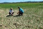 Hạn hán nghiêm trọng tại các tỉnh miền Trung