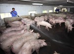 Ứng phó dịch tả lợn châu Phi: Làm gì trong lúc chờ vắc xin?